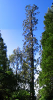 На Земле обнаружили новое самое высокое дерево