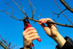 Обрезка деревьев – неужели бесполезная затея?