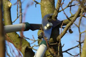 Чем полезна обрезка плодовых деревьев?